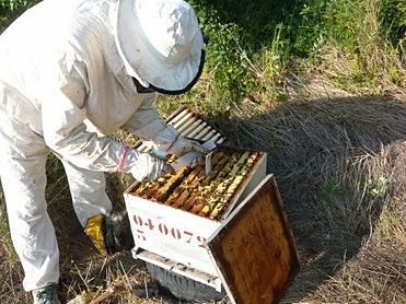 Apiculteur en tenue blanche de protection penché sur sa ruche qu'il vient d'ouvrir. Cette visite est organisée pour traiter l'essaim contre le varroa avec des lanières Apivar. Cette campagne de traitement s'effectue en l'absence de hausse après récolte.