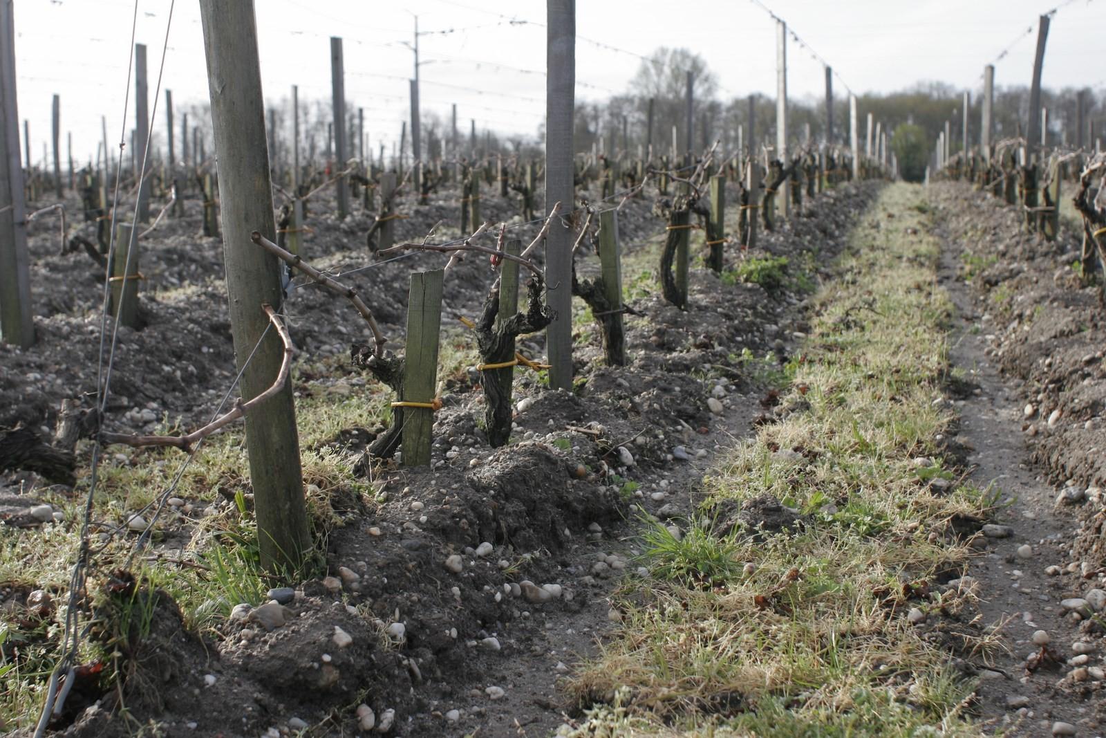 pendant ce temps, dans le médoc, on attache la vigne à l'osier