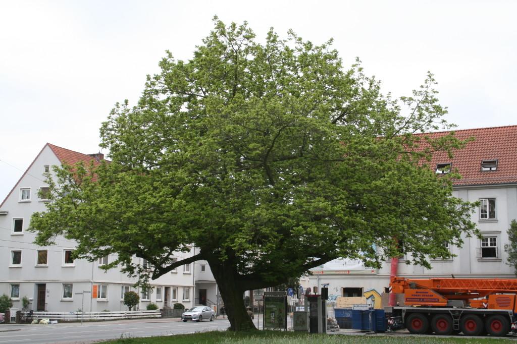 Kaukasische Flügelnuß - der schönste Baum der Neustadt vor der ehemaligen Stadtbibliothek an der Friedrich-Ebert-Strasse