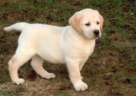 4 Cosè L Imprinting Allevamento Labrador Retriever In Campania