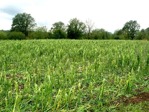 Champs de maïs dévastés parfois à 100 %. Le vignoble du Jurançon est également sinistré, en paticulier sur Lasseube et Lasseubétat. © C-PRIM 2009