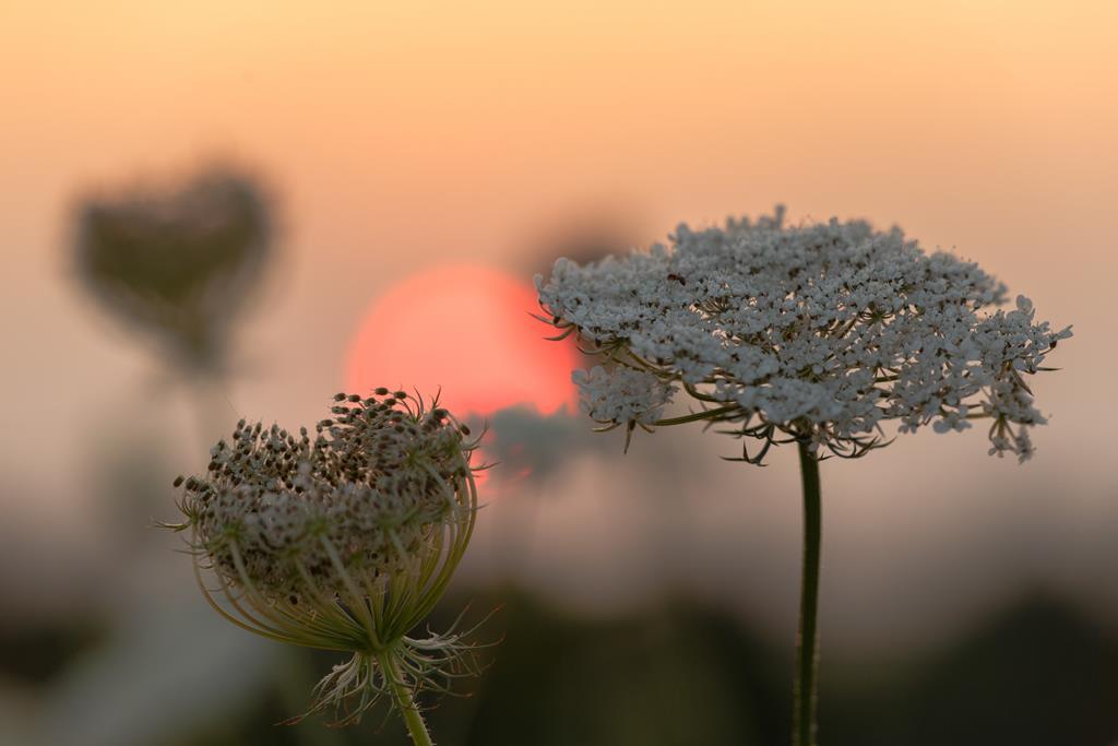 Wilde Möhre vor Abendsonne. Ingo Heymer