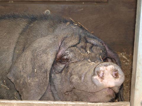 Fiete ist ein Meishan (Chinesisches Maskenschwein)und wird  am 19. Juli 3. Jahre.