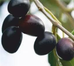 acquisto olio del salento extra vergine di Puglia Pugliese