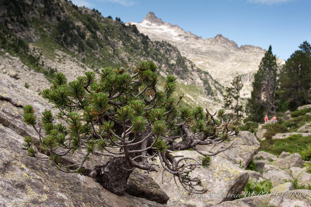 Bonzai naturel dans la réserve naturelle du parc de Neouvielle (65 - 2013/08)