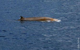 baleine bec cuvier