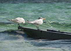 oiseaux guadeloupe
