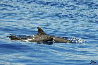 orques pygmés