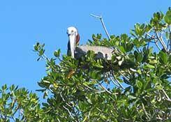 pélican mangrove