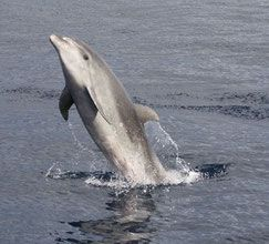 tursiops grand dauphin