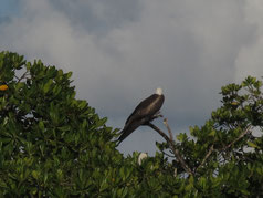 guadeloupe bird