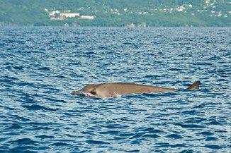 baleine bec gervais