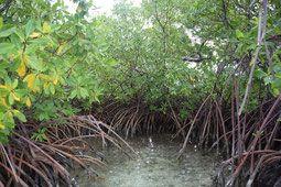 lagon mangrove