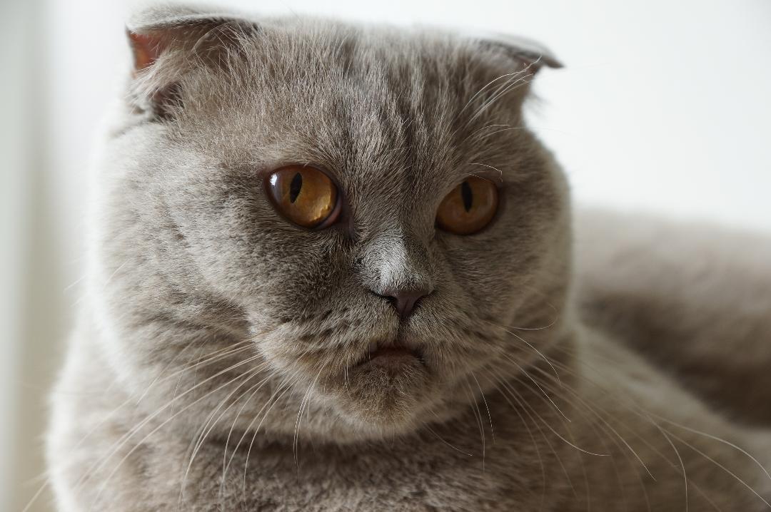 Mascha  Frehner's Cattery, Scottish Fold