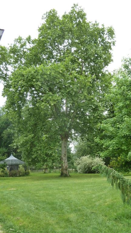 AVANT : Platane dans un parc