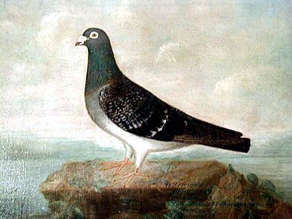Ölgemälde einer sehr erfolgreichen Taube des Jahrgangs 1874 von Adolf Zurhelle mit Preisauflistung bis in das Jahr 1880