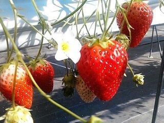 「Nonhoi Strawberry」
