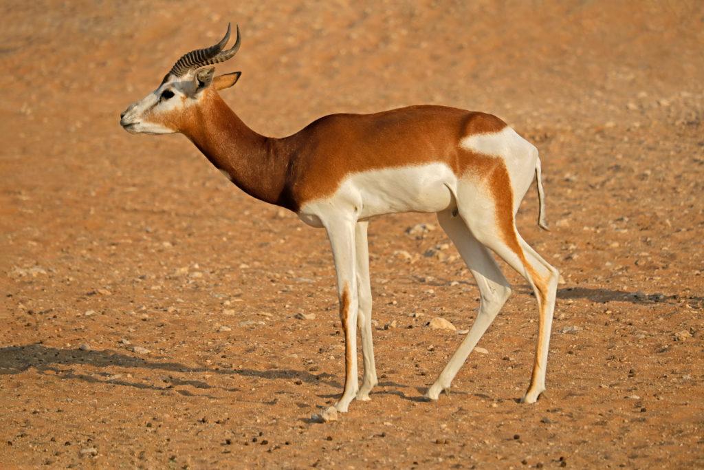 Gazelle de MHORR