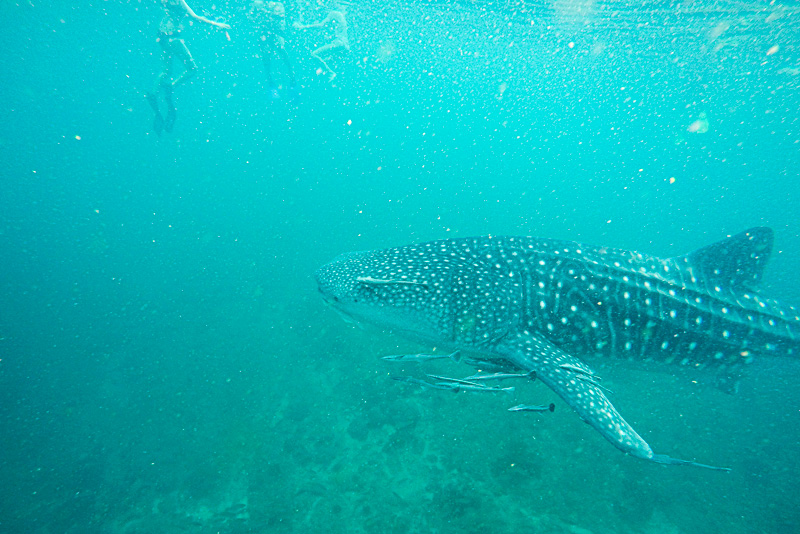 12 Days in Oman - Whale Shark