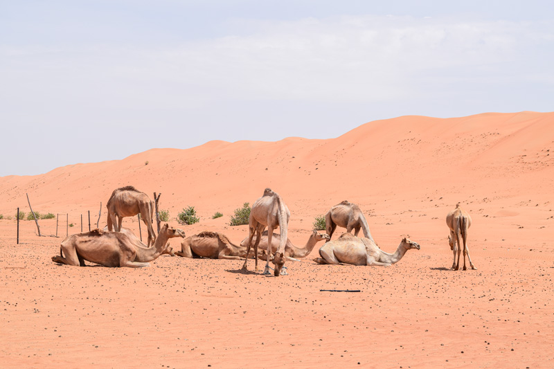 12 Days in Oman - Camels