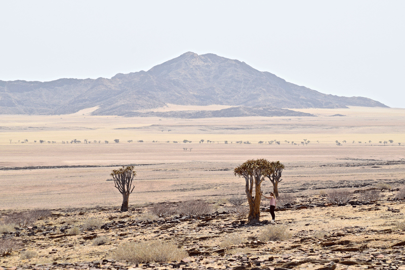 2 Weeks in Namibia - Your Ultimate Itinerary - Quiver Trees
