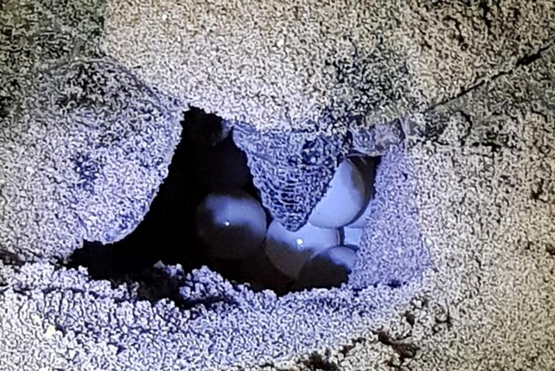 12 Days in Oman - Turtle Laying Eggs at Ras al Jinz Beach