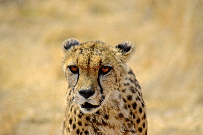 2 Weeks in Namibia - Your Ultimate Itinerary - Nankuuse Sanctuary - Cheetah