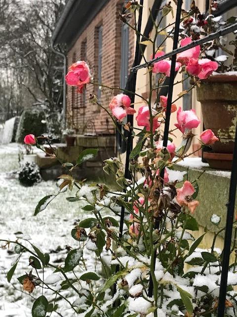 Rosen vor der Molkerei mit Schneehäubchen auf den Blütenköpfen.