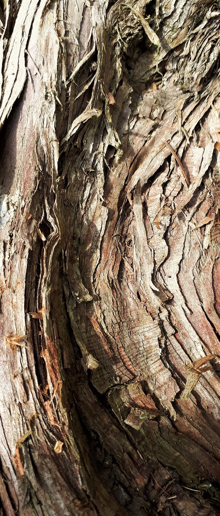 WACHOLDER (Juniperus communis) - Rinde.