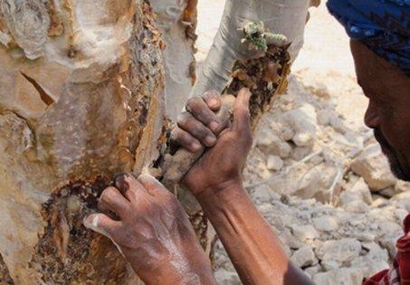 Weihrauchbaum Weihrauch Baum Boswellia Olibanum Gewinnung Ernte