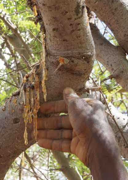 BOSWELLIA DALZIELII im Senegal. - FOTO: © JUNGLE-POWER.com