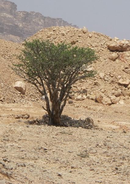 Weihrauchbaum Weihrauch Baum Boswellia Olibanum Stammpflanze