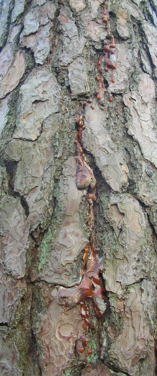 Natürlicher Harzfluss an einer alten WALDKIEFER (Pinus sylvestris) mit außergewöhnlich dunklen Harztropfen.