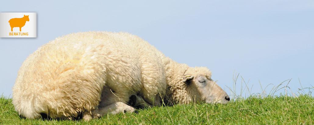 Schlafberatung – schlafendes Schaf