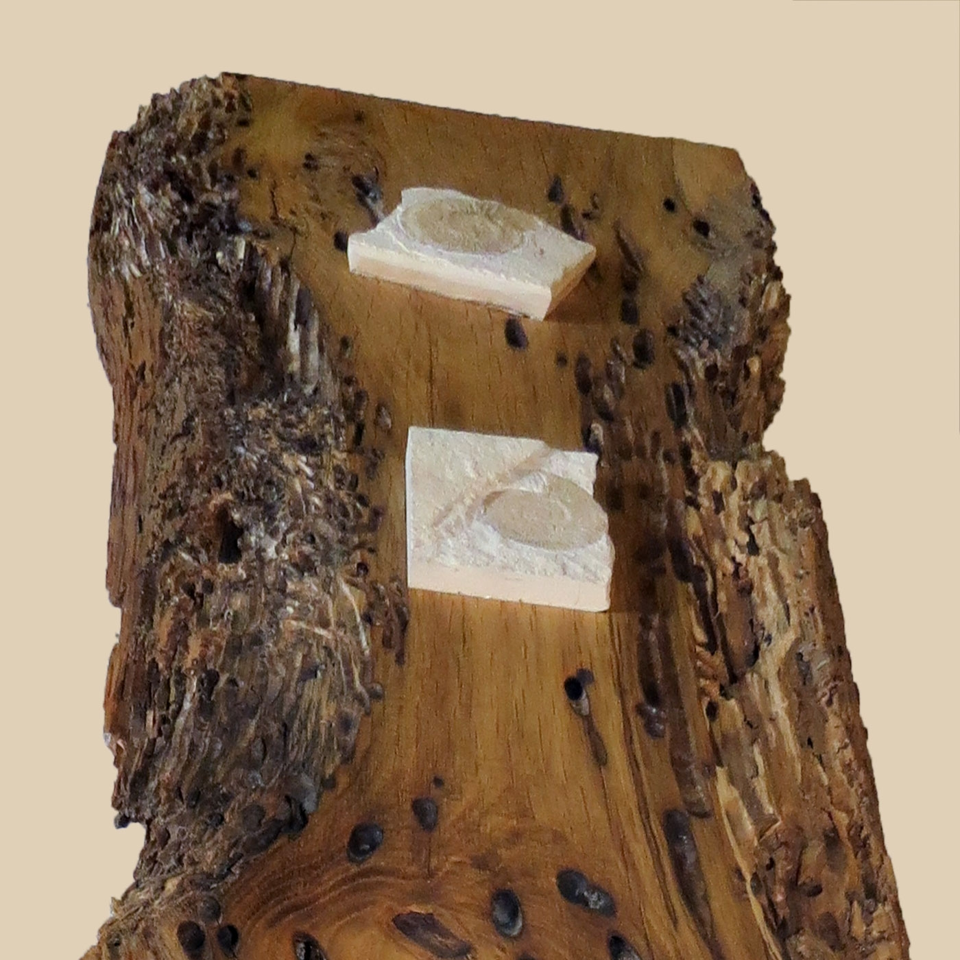 Fossilien auf Briccole-Venedigholz