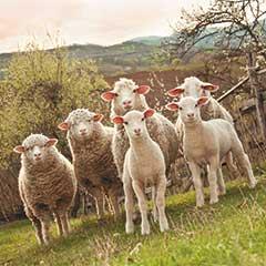Mit Schafschurwolle zu gesundem Schlaf