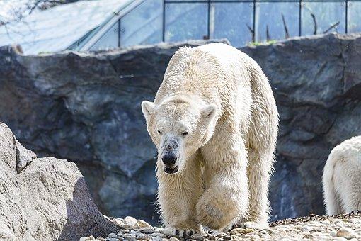 Eisbär // Foto: Pixabay