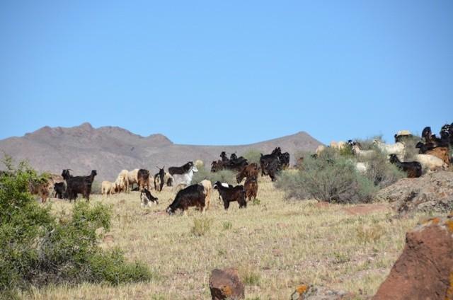 Eine Herde Geisen und Schafe...