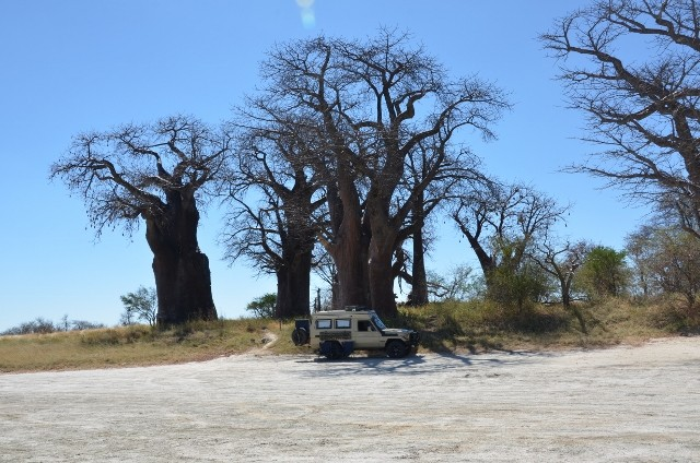 Riesige Baobap Bäume