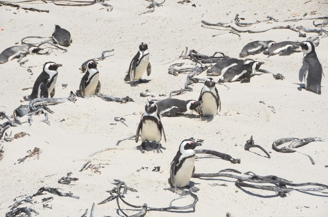 Pinguine in Simons Town