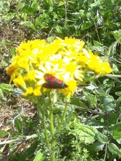 A Six Spot Burnet Moth upon Ragwort