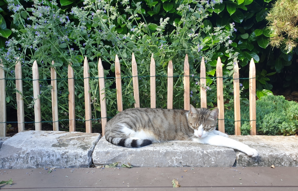 Nickerchen am Catnipfeld! Ein selbstgebauter kleiner Staketenzaun hält die Pflanzen aufrecht