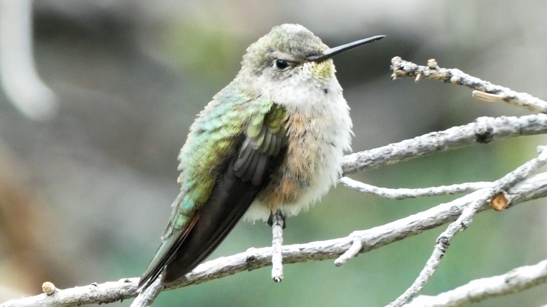 Female or immature, Sandia Mountains, August 2021