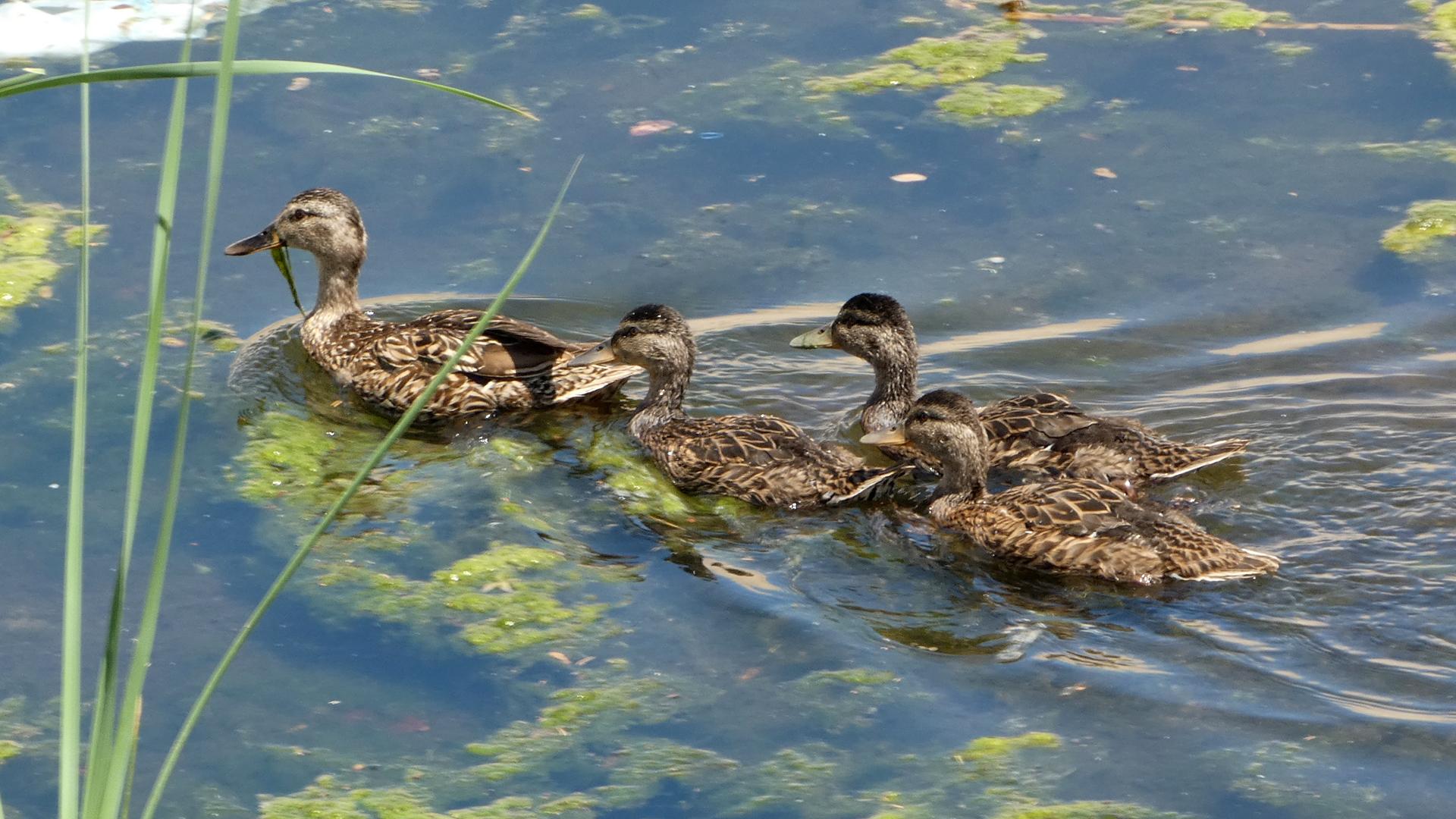 Female with older ducklings, Albuquerque, June 2021