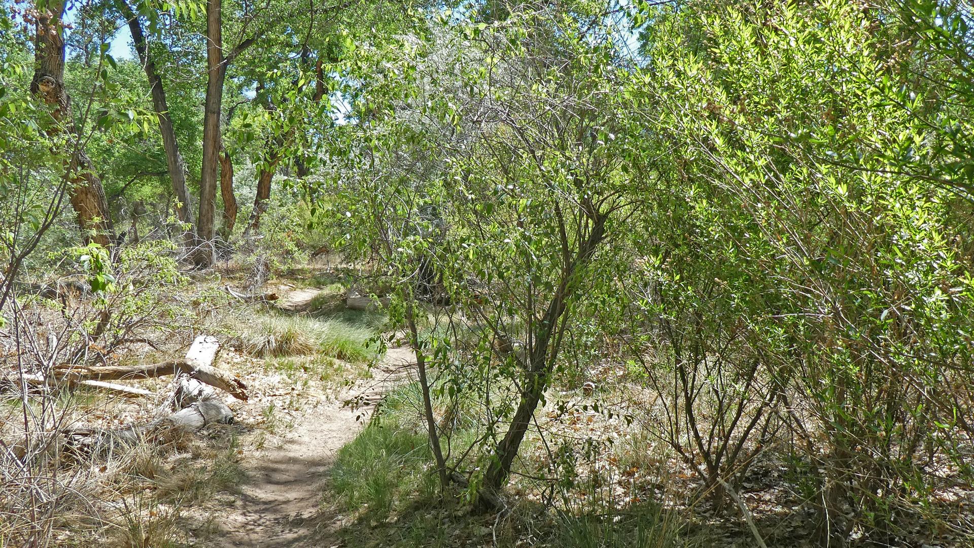 Peach-leaf willow? Rio Grande Bosque, Corrales, May 2021