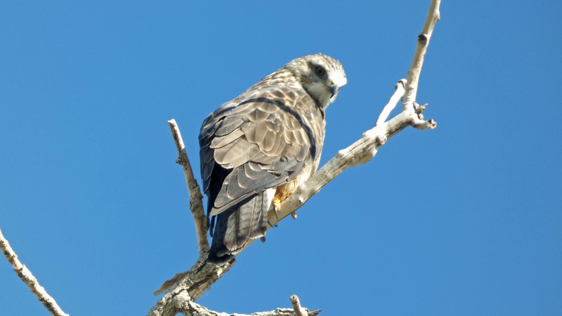 Immature, Rio Grande Bosque, Albuquerque, September 2021