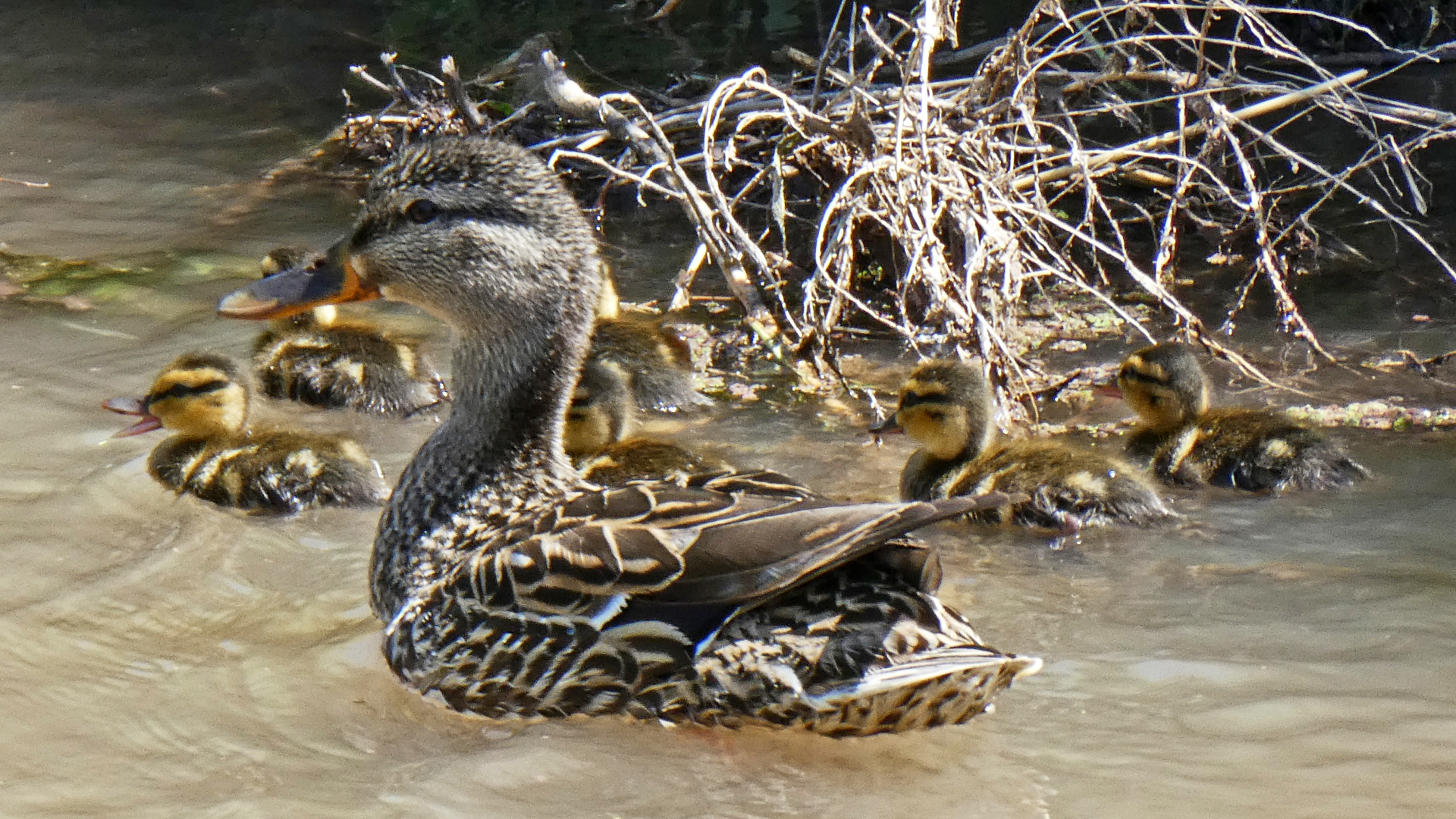 Female with ducklings, Albuquerque, May 2021