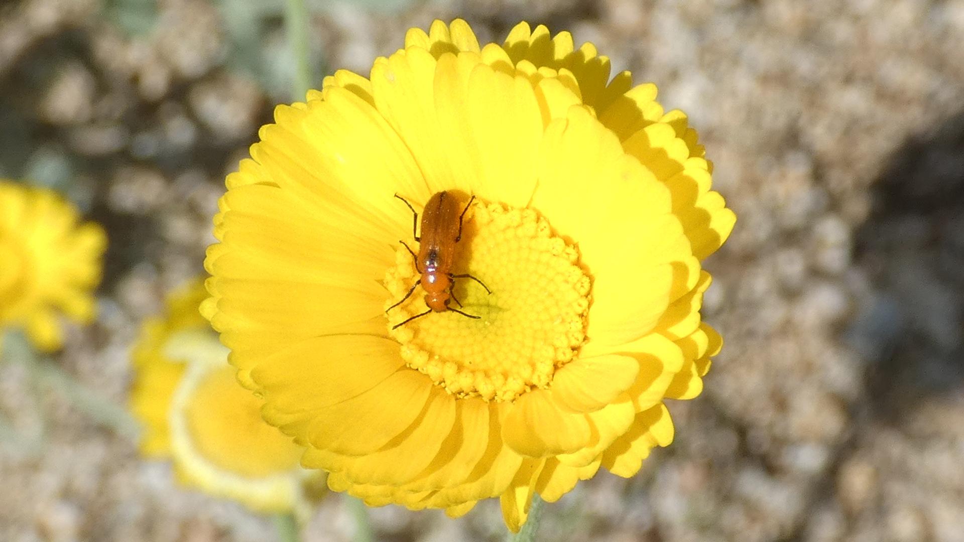 On desert marigold, Sandia Mountains west foothills, August 2021