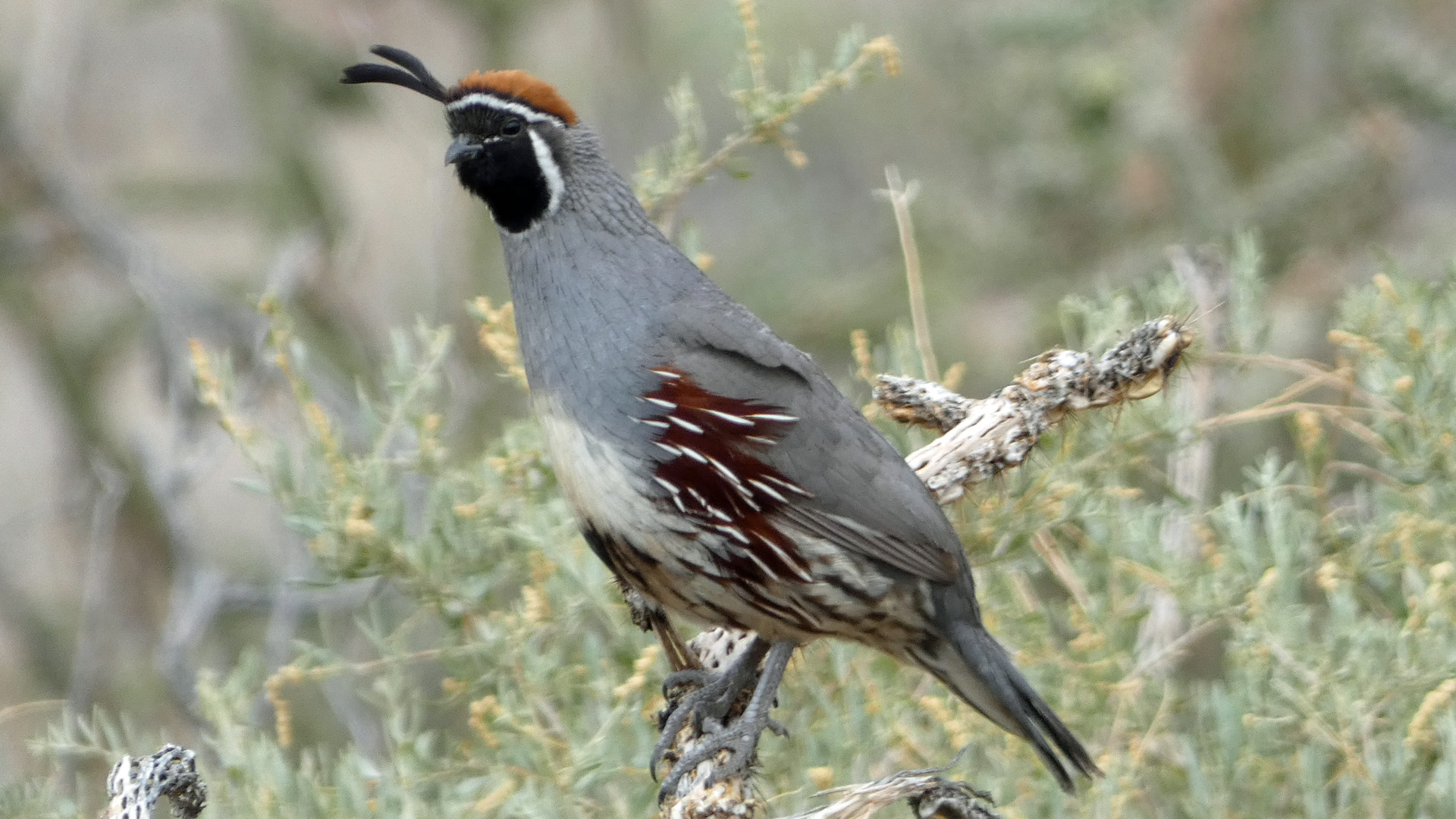 Male, Sandia Mountains west foothills, June 2021