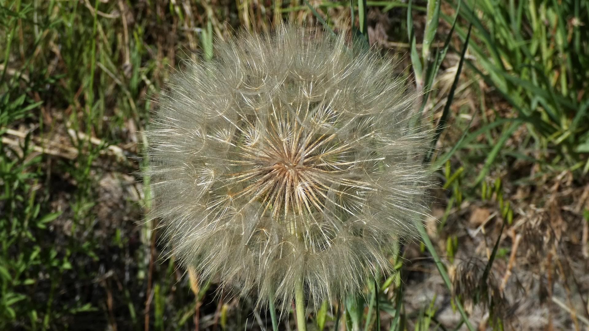Seed head, Albuquerque, June 2021